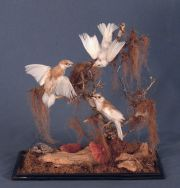 Aves, taxidermia., fanal